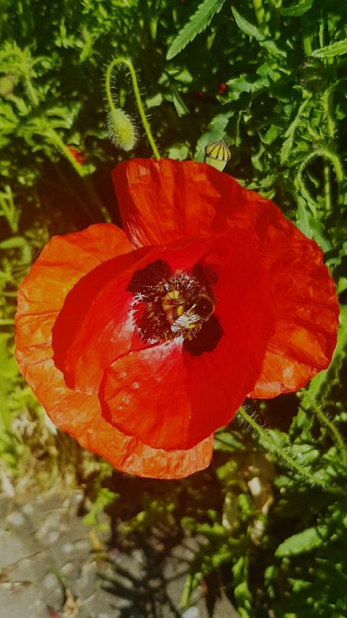 Haarlem Garden Photography Red Close-up Plant Nature Poppy Flower Head Bumbellbee Early Morning Polination Plants Plant