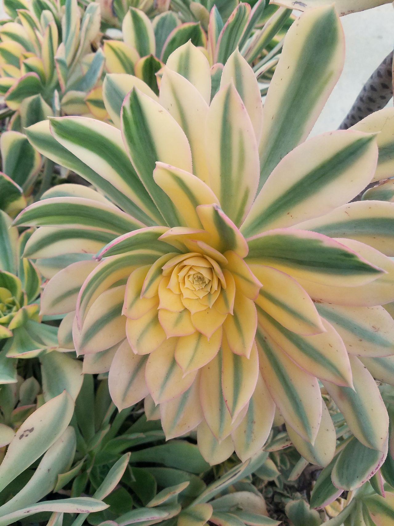 Beautiful Nature Catus Flower Blooming Flower Head Close-up Outdoors No People Multicolor Colorful Plant