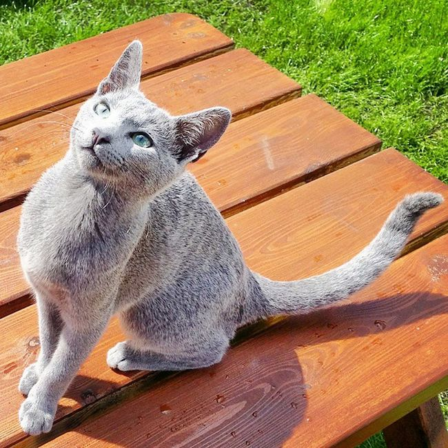 Hello everybody! Are you enjoying the sunshine today as well? Share in the comments below! 😸😻 Catsofinstagram Kittensofinstagram Russianbluesofinstagram Russianbluekitten RussianBlue Russianbluecat Smartcat Instacat Instakitty Kittens Greycat Silvercat Bluecat Blue Cat_features ロシアンブルー Garden Gardenbench Propetsfeature Rosyjskiniebieski Meowbox @meowbox