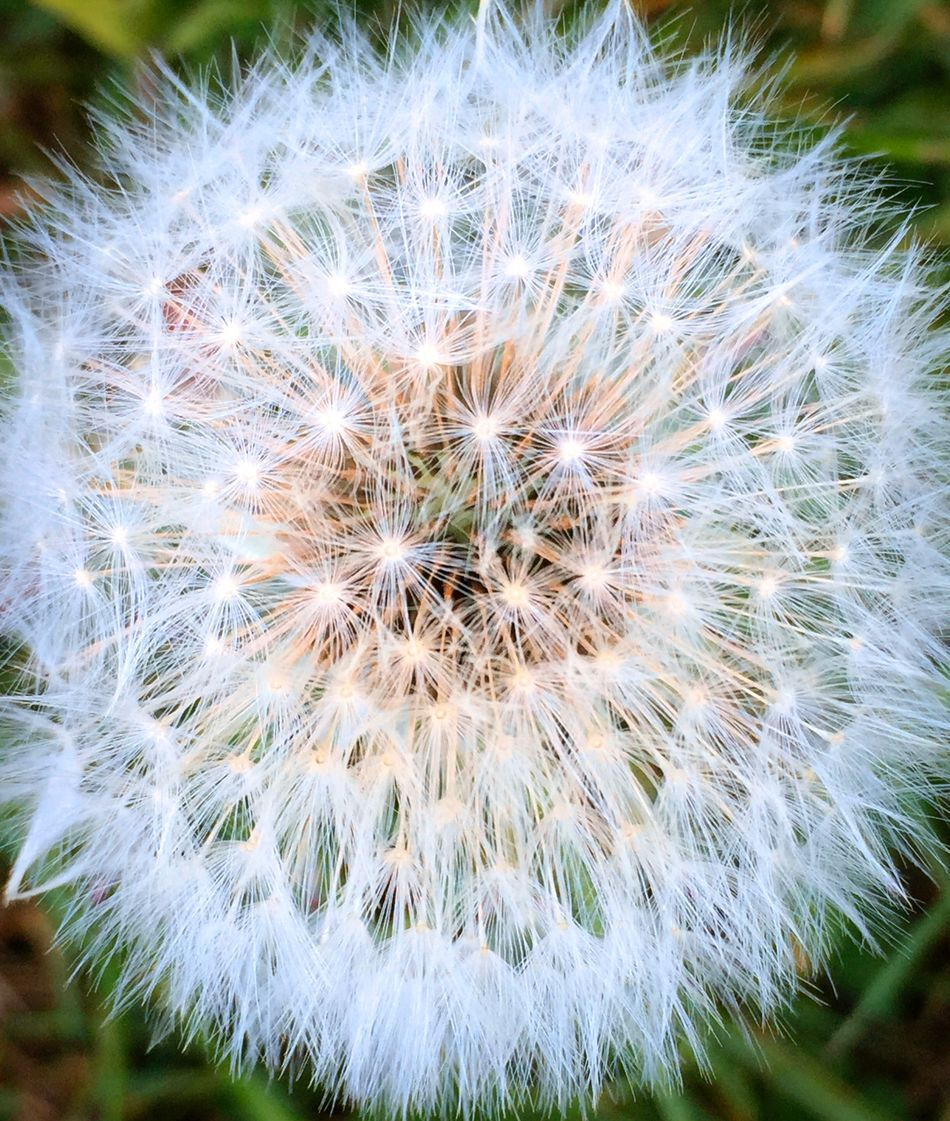 Dandelion Beauty In Nature Botany Close-up Dandelion Dandelion Seed Day Delicate Flower Flower Head Fragility Freshness Growth Nature No People Outdoors Plant RISK Seed Softness Springtime Uncultivated Wildflower