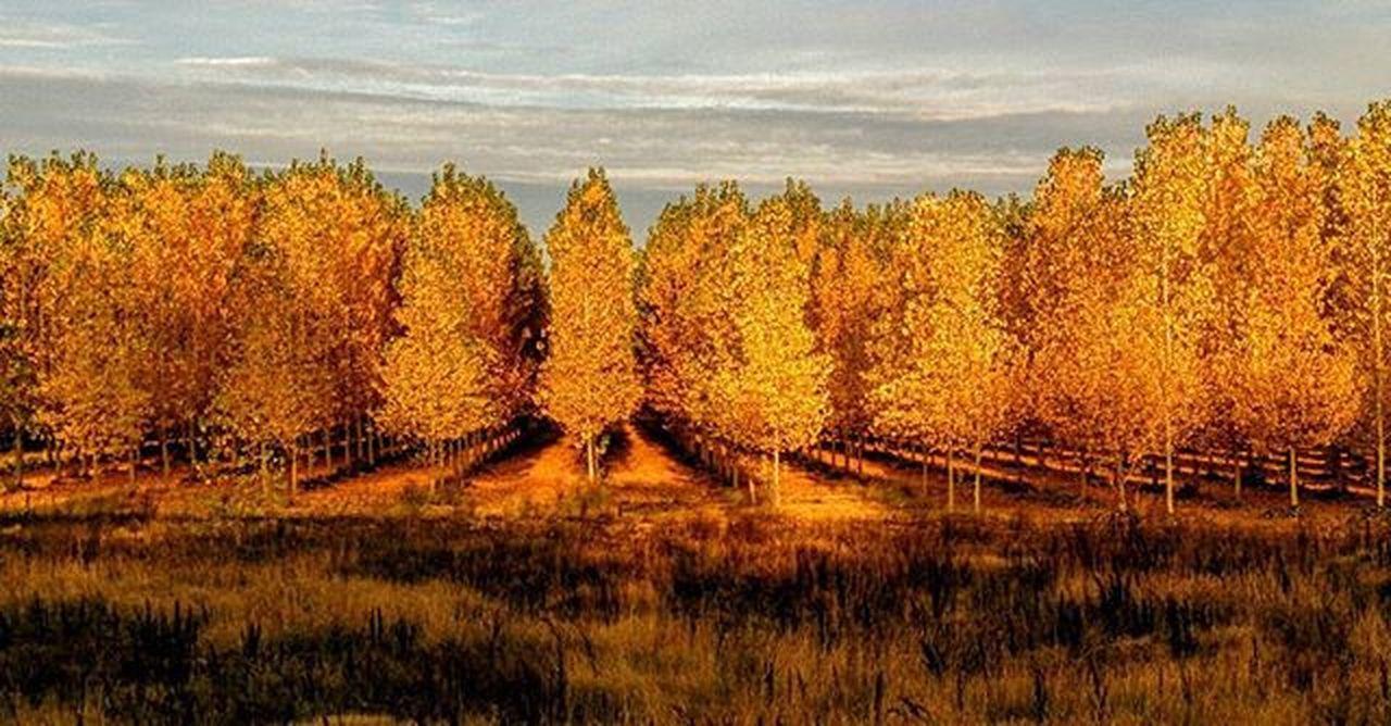 Dawn falls over the Ebro valley.Poplars Sotosdealfaro Alfaro Larioja Golden Staringatspain Ebro Autumn Trees Dawn Staringatthehorizon SPAIN 2015