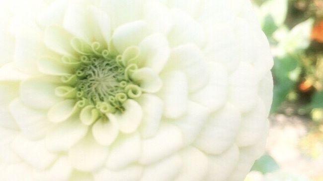 真白 Flower Nature Hello World Japan Japanese  EyeEm Gallery Iphonegallery https://youtu.be/xEGS5mRSTdE