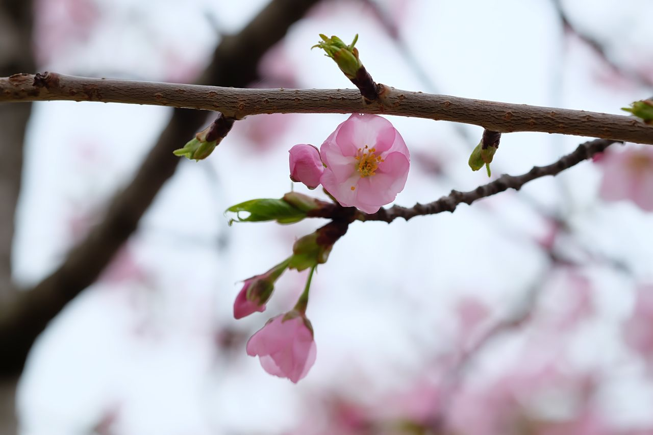 Spring. Growth Fragility Flower Beauty In Nature Nature Freshness Close-up Petal Pink Color Tree No People Flower Head Blossom Branch Plant Twig Outdoors Day Plum Blossom Washington, D. C. FUJIFILM X-T10 EyeEmNewHere Eyeem Philippines Tree Travel Destinations