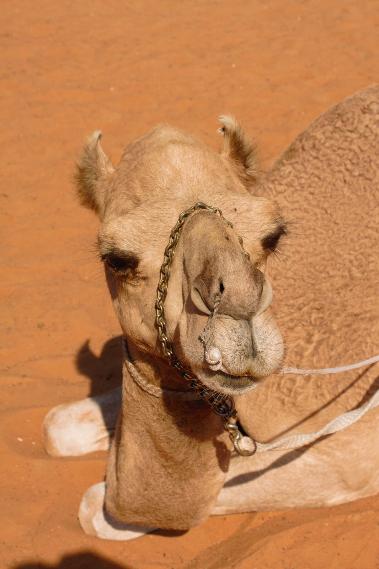 Beautiful stock photos of camel, Animal Themes, Arid Climate, Brown, Camel