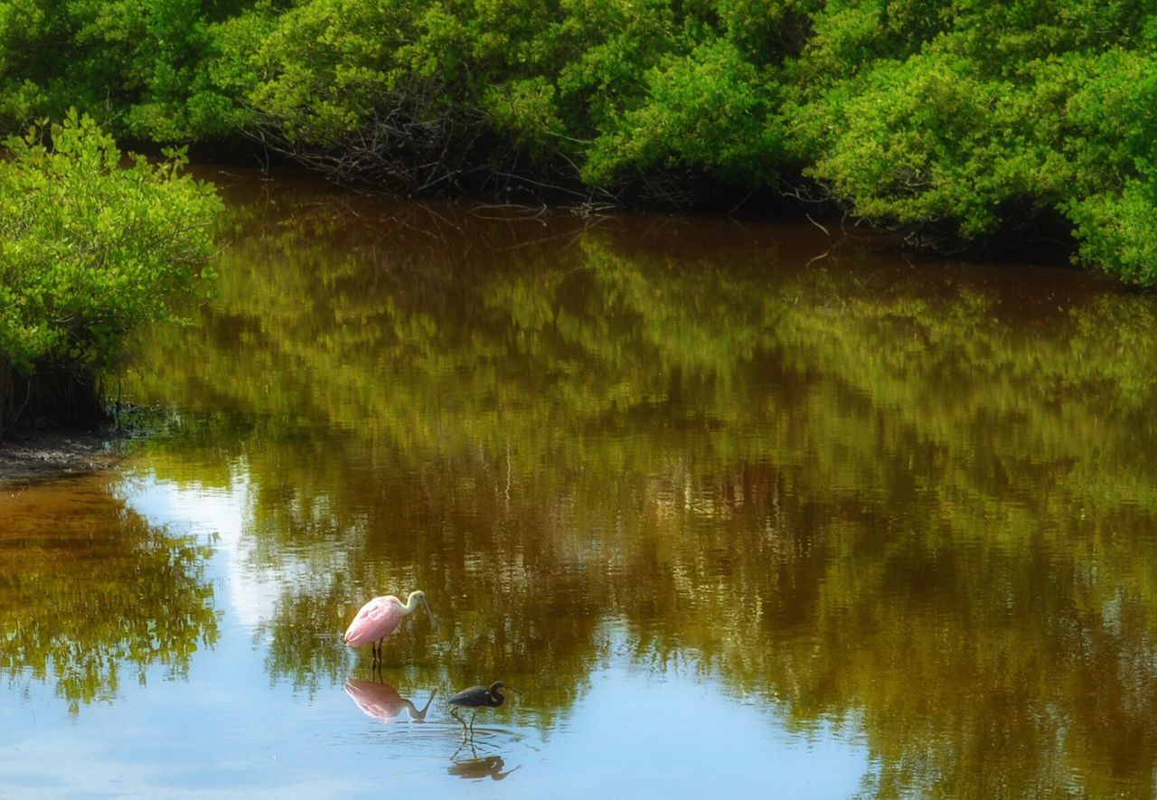 Roseate Spoonbill Heron Mangroves Reflection Animal Themes Nature Animals In The Wild Pelican Island National Wildlife Refuge Sebastian, Fl