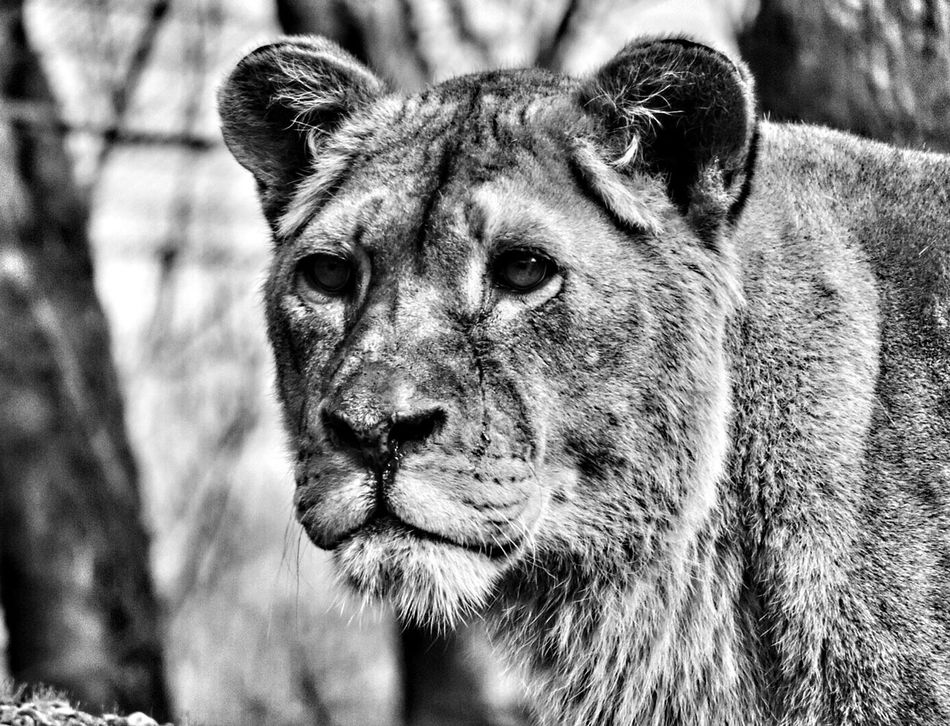 One Animal Animal Themes Animals In The Wild Portrait No People Safari Animals Nature Lion Lion - Feline Lions