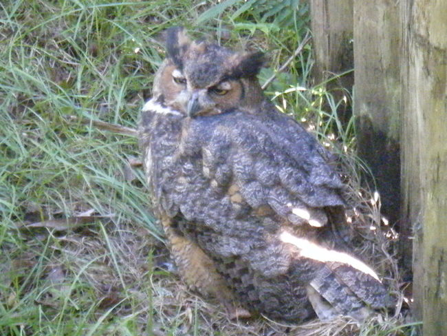Owl Sleepy Hoot Bird Brown Grass
