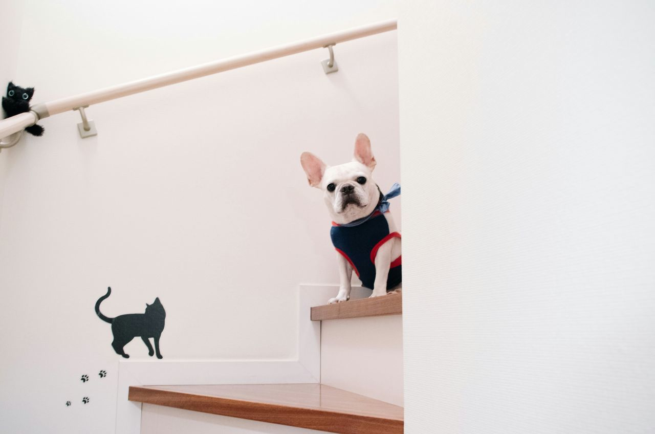 Beautiful stock photos of french bulldog, Animal Representation, Animal Themes, Dog, Domestic Animals