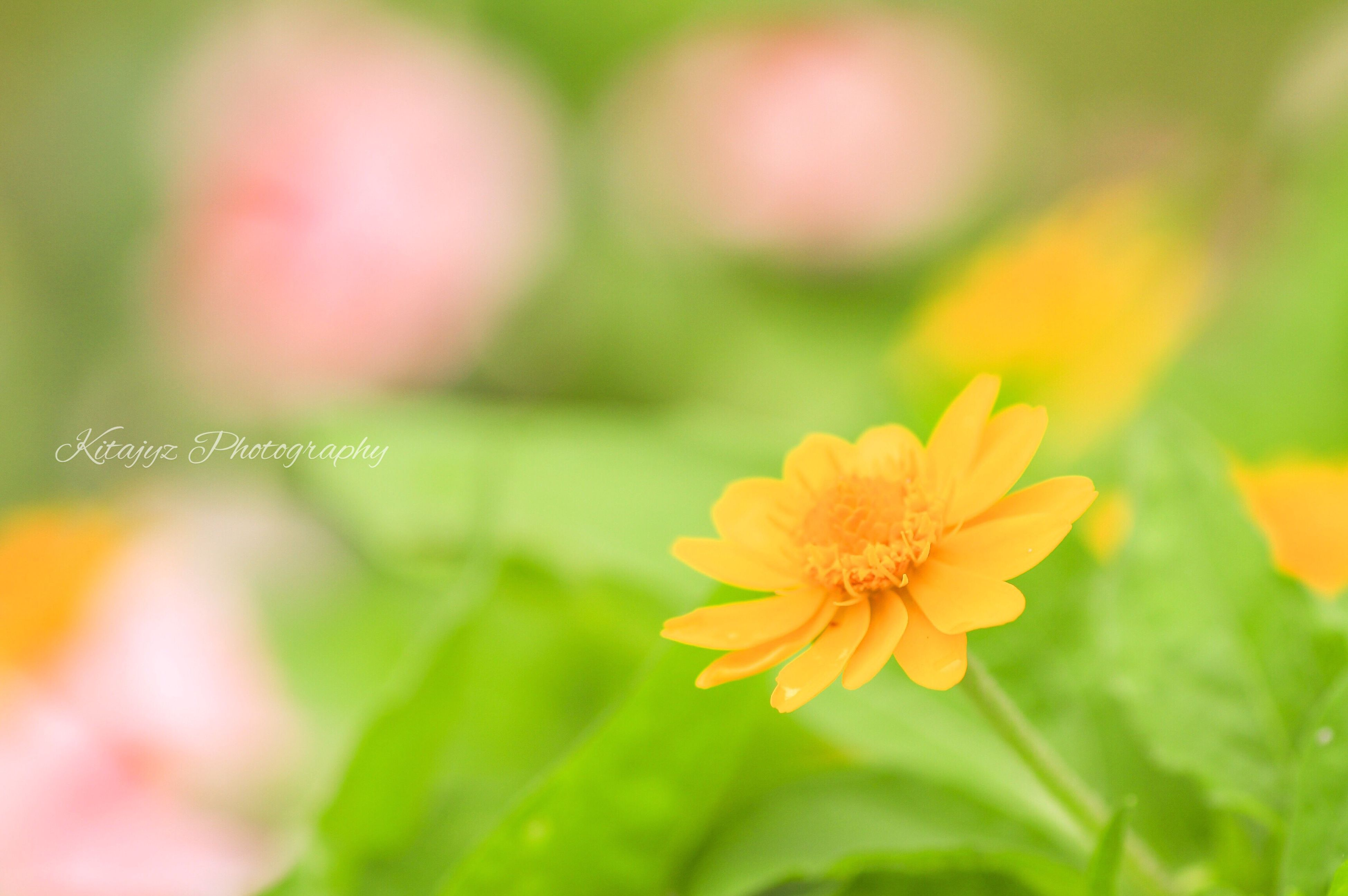 flower, petal, freshness, fragility, flower head, focus on foreground, growth, beauty in nature, close-up, yellow, blooming, nature, plant, selective focus, in bloom, pollen, park - man made space, day, outdoors, stem