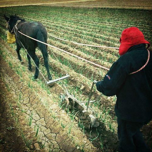 Trabajo de arado en Isla Grande, Maipu