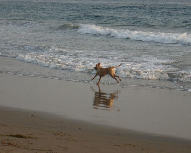 A happy dog runs on the beach in coastal Santa Barbara. Beach Coastline Dog Dog On Beach Ocean Outdoors Reflection Reflection Reflections In The Water Running Dog Sand Sea Shore Surf Water Waters Edge Wave