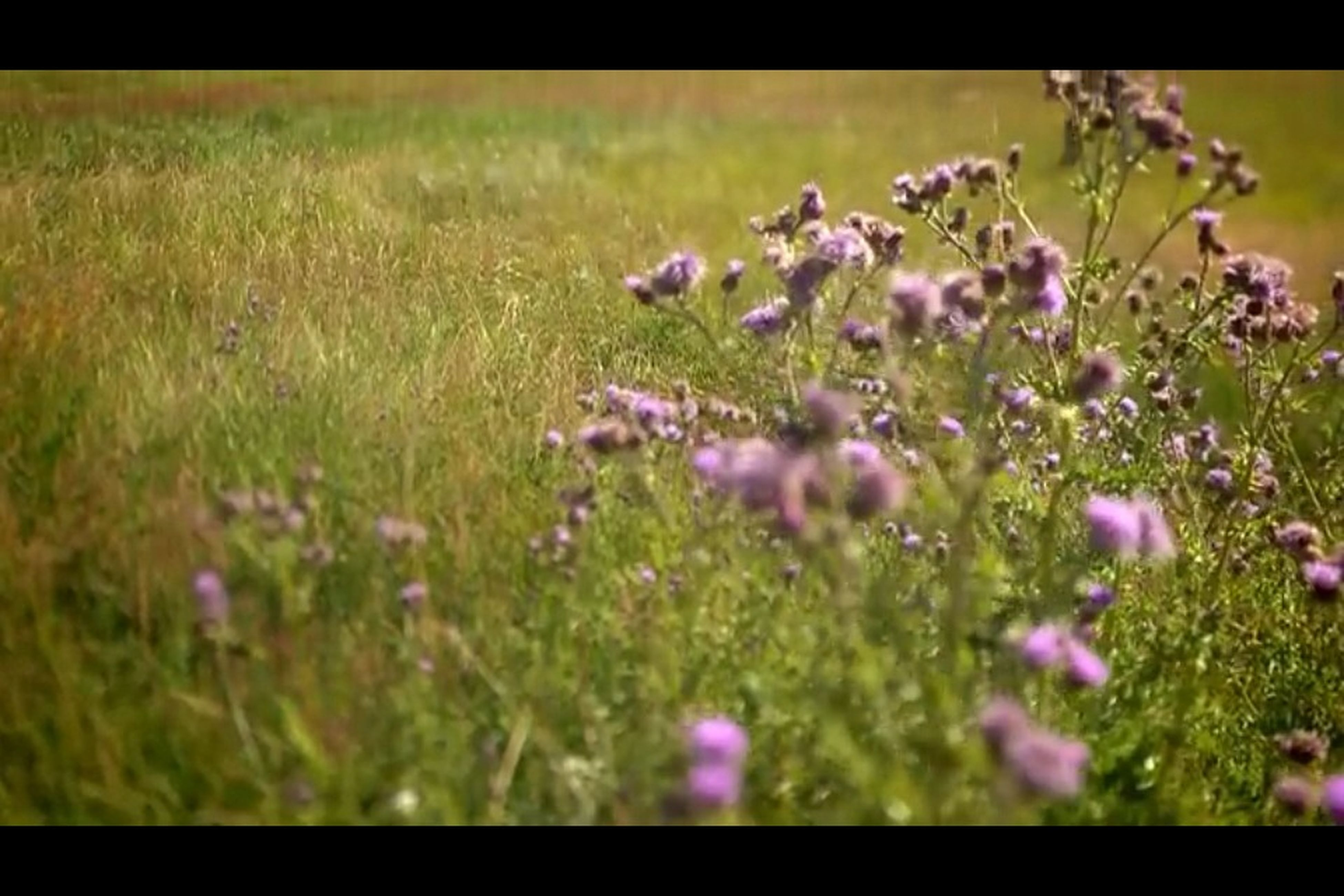 flower, transfer print, freshness, growth, field, fragility, beauty in nature, auto post production filter, nature, plant, grass, purple, blooming, selective focus, wildflower, focus on foreground, petal, meadow, flower head, close-up