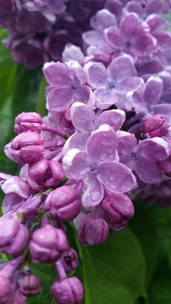 Lilacs after rain The Great Outdoors - 2016 EyeEm Awards Thegreatoutdoors-2016eyeemawards The Great Outdoors -2016 Eyeem Awards Beauty In Nature Flower Close-up In Bloom No People Blossom Blooming Spring Time Pictureoftheday Picoftheday EyeEm Gallery Photooftheday Eye4photography  Spring 2016 Free Taking Photos Hello World Check This Out Enjoying Life Fragility Relaxing Enjoying Life