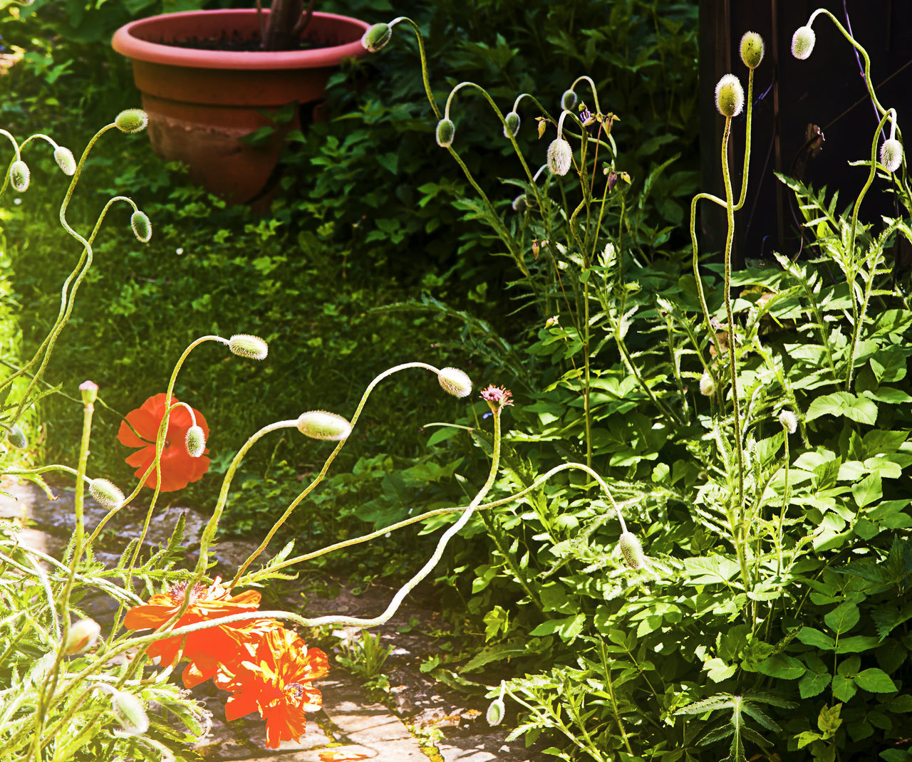 Poppy flowerbed in garden, backlight Beauty In Nature Close-up Day Flower Freshness Garden Garden Corner Grass Green Green Color Growth Leaf Nature No People Outdoors Plant Poppies  Red Season  Summer Vase