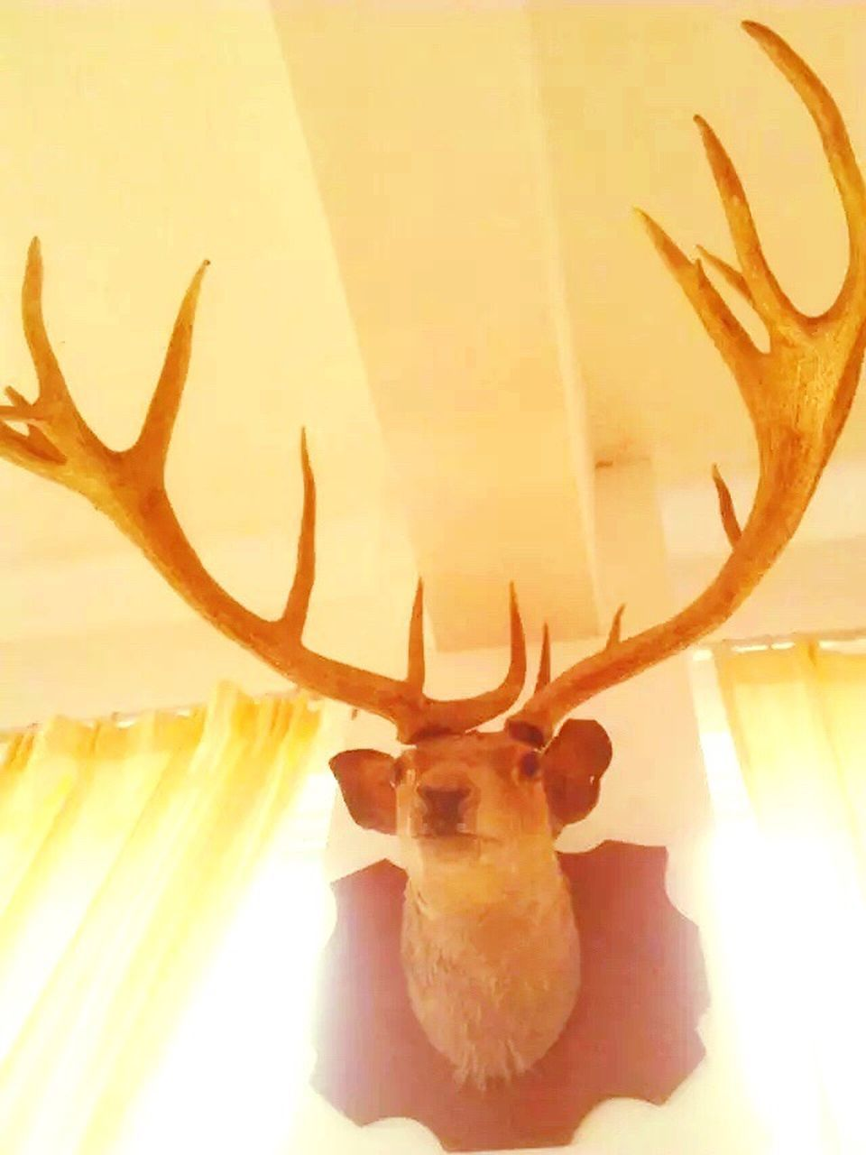 antler, deer, animal head, stag, indoors, taxidermy, animal themes, low angle view, no people, looking at camera, close-up, portrait, day, mammal