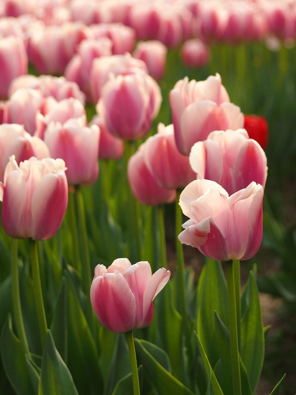 Pink Tulips Blooming On Field