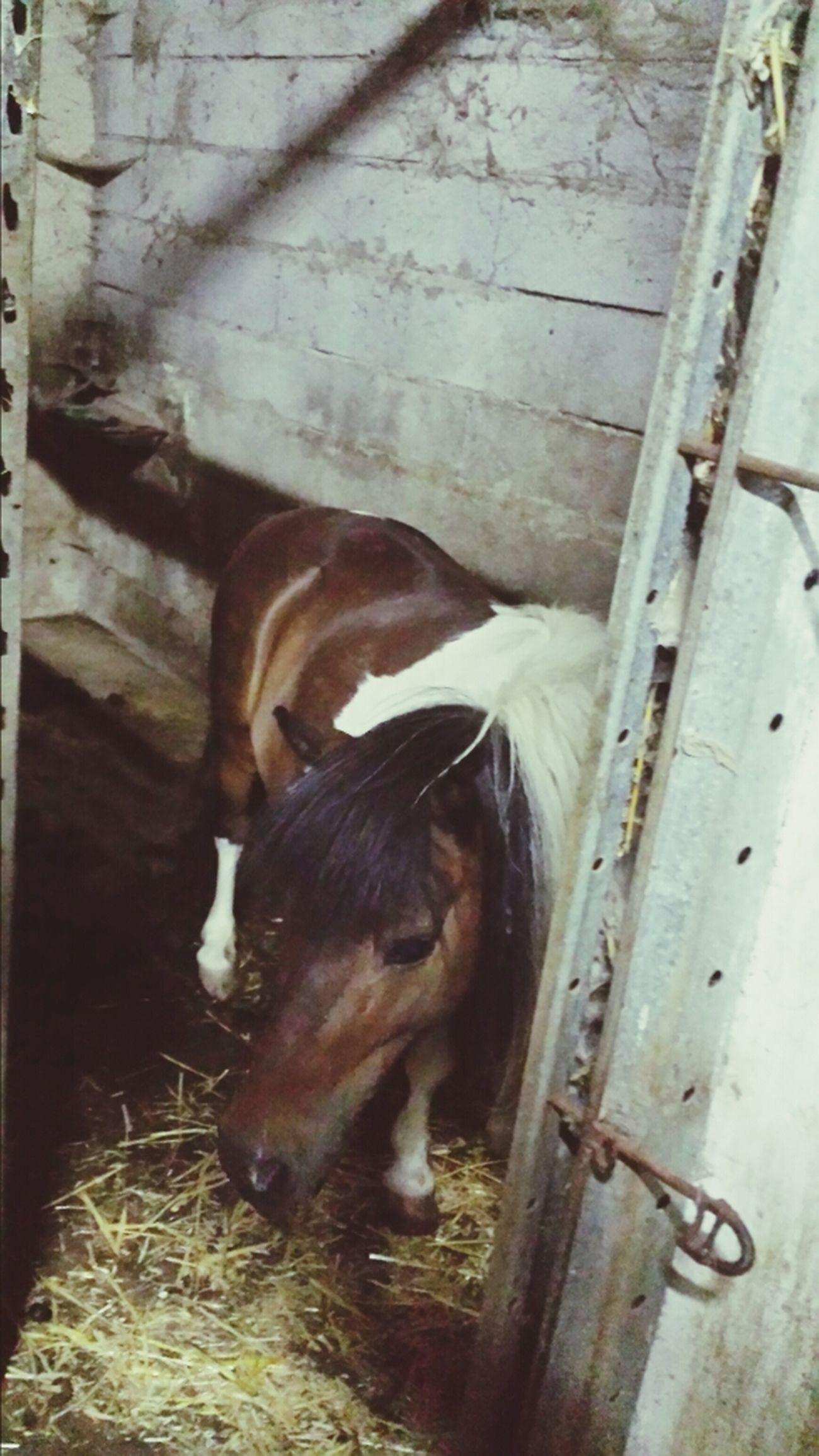 Pony Animal Horse Agritourism