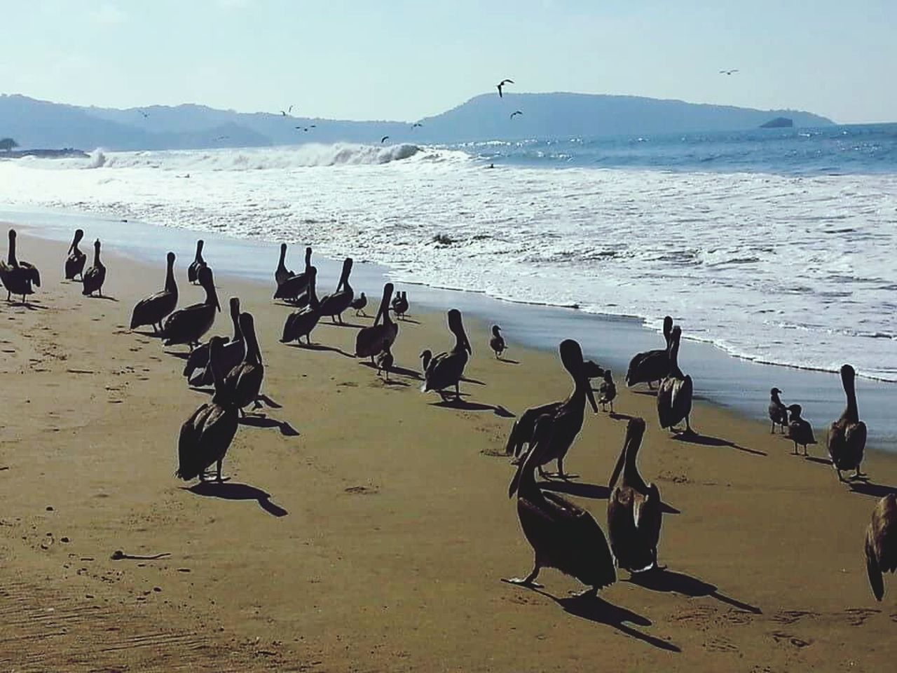 large group of animals, beach, water, nature, animal themes, beauty in nature, sea, bird, animals in the wild, sand, scenics, sunlight, day, flock of birds, sky, outdoors, no people, animal wildlife, mountain, horizon over water, swan