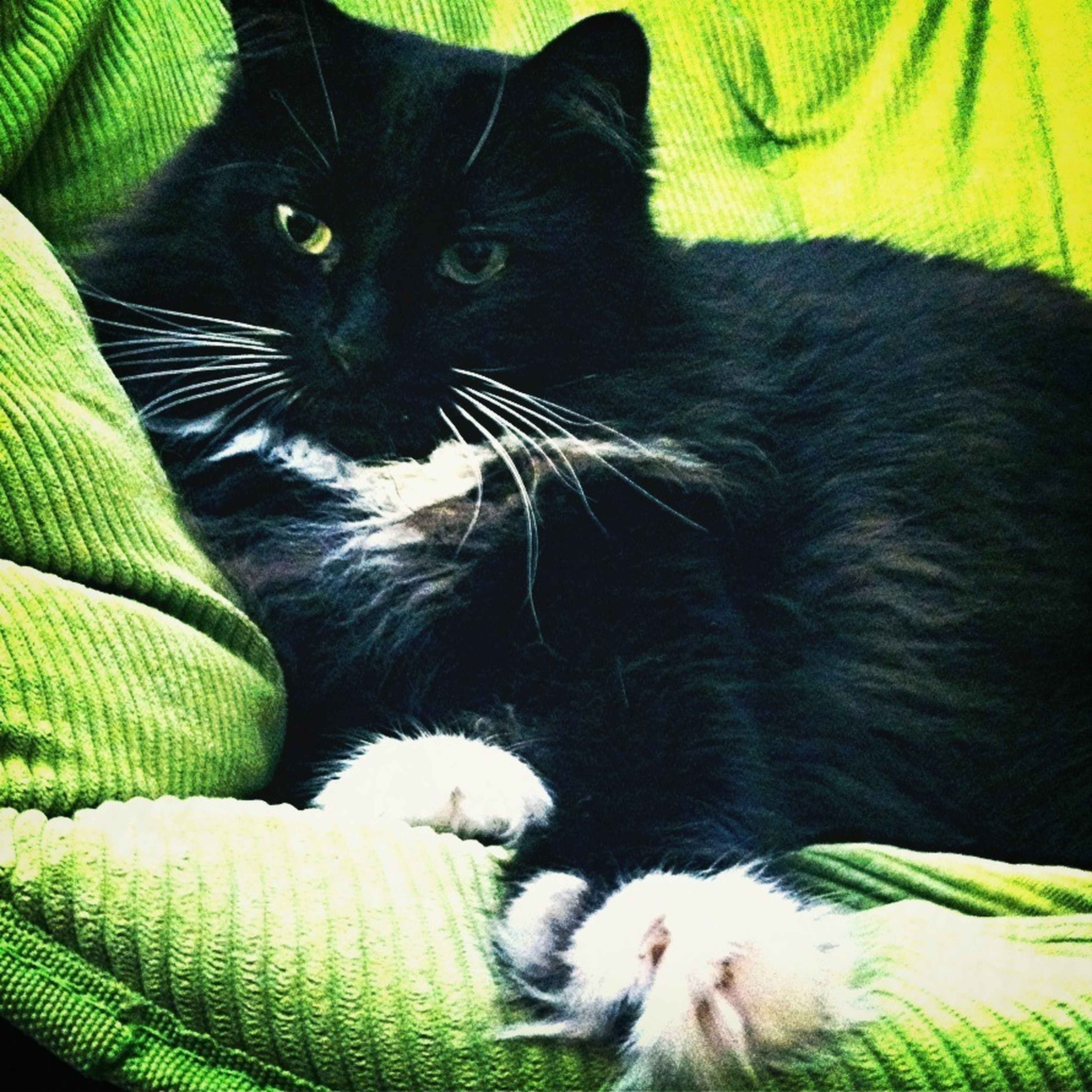 pets, domestic cat, domestic animals, cat, animal themes, one animal, feline, mammal, indoors, relaxation, whisker, close-up, portrait, bed, looking at camera, animal head, sofa, resting, no people, black color