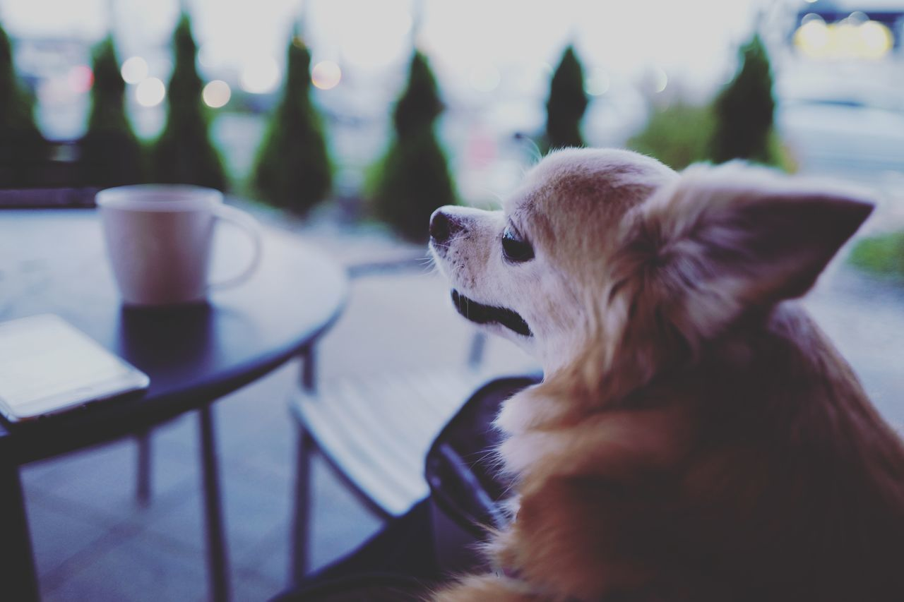 Beautiful stock photos of chihuahua, Animal Themes, Cafe, Chair, Chihuahua
