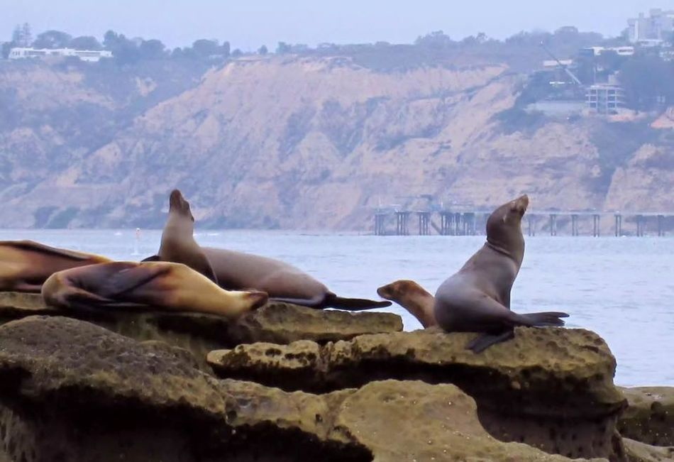 EyeEm Nature Lover Hanging Out La Jolla Cove Multiple Animals Oceanside Seals Seals On The Sea Shore Wildlifephotography The KIOMI Collection Copy Space