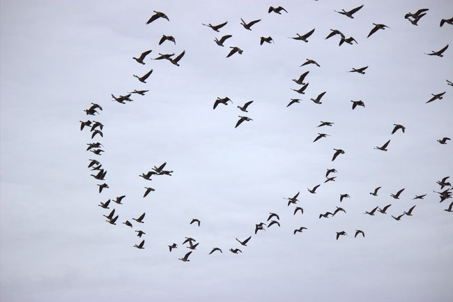 Animal Themes Bird Canada Geese Flock Flying Gaggle Of Geese Spread Wings Wildlife