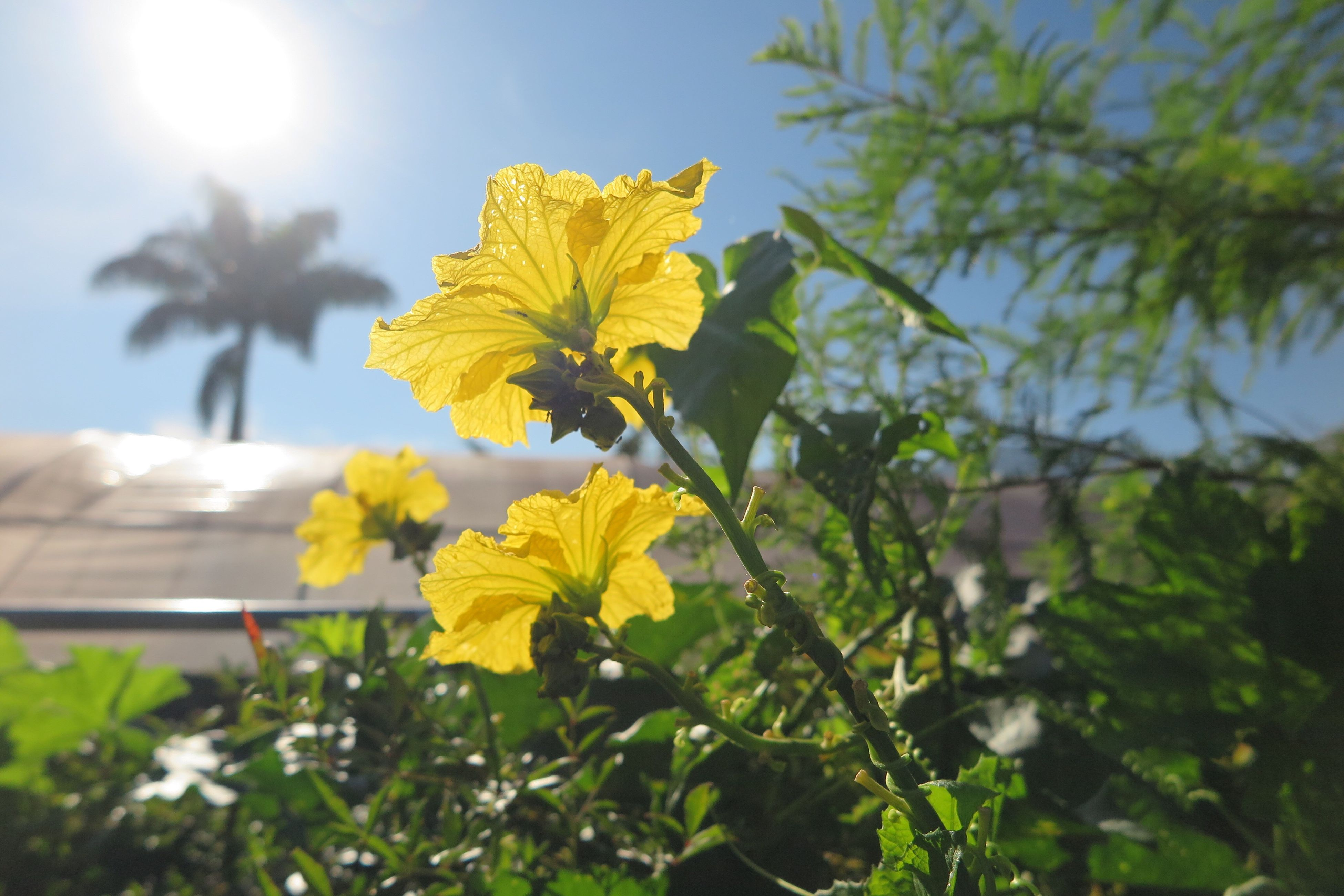 flower, growth, yellow, fragility, freshness, petal, beauty in nature, focus on foreground, leaf, nature, close-up, sunlight, flower head, plant, blooming, in bloom, sunbeam, stem, day, sun, outdoors, blossom, no people, botany, selective focus, sky, green color, sunny, growing, tranquility