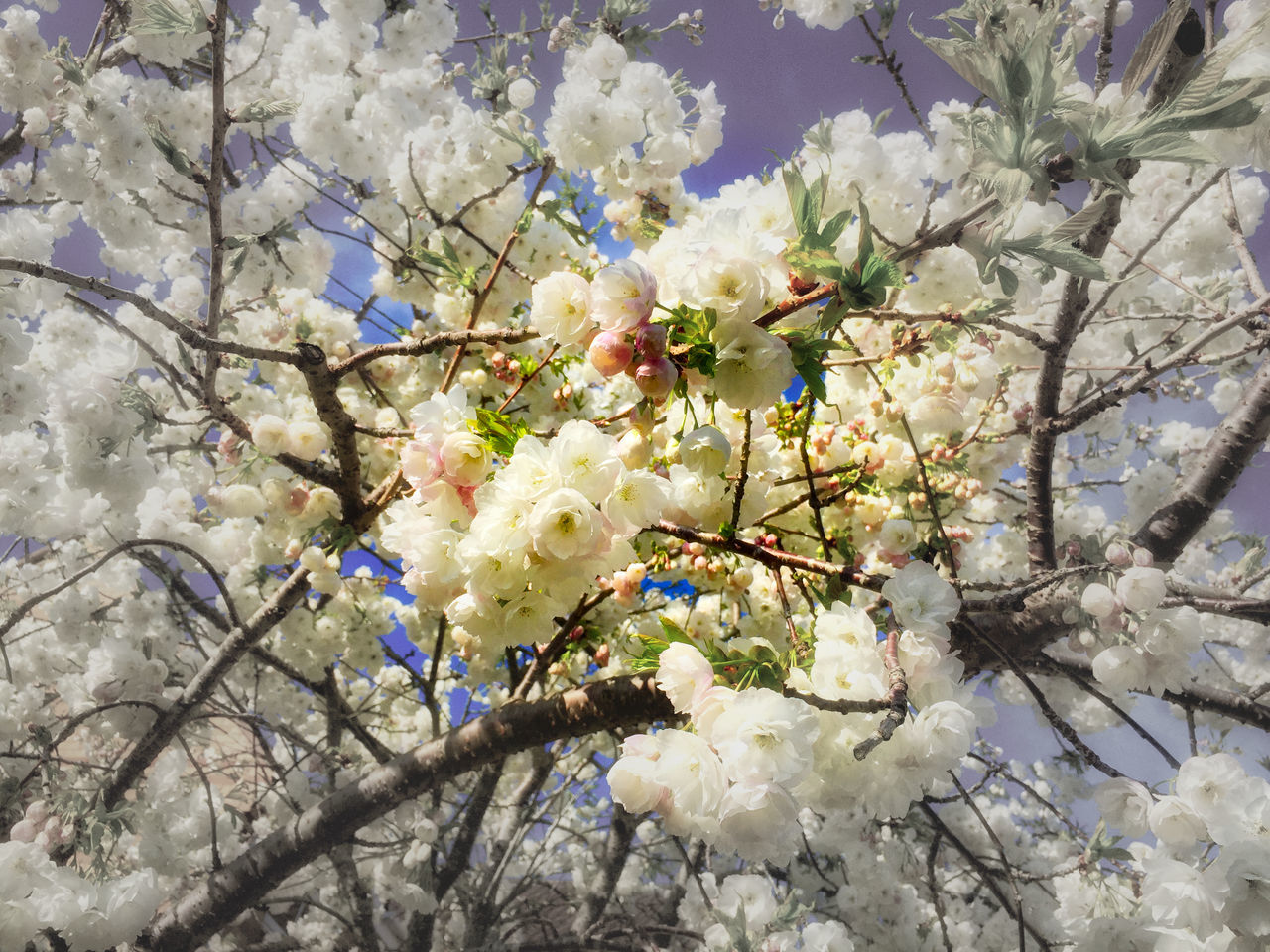 Beauty In Nature Blossom Branch Cherry Blossom Close-up Day Flower Flower Head Fragility Freshness Growth Low Angle View Nature No People Outdoors Sky Springtime Tree Twig