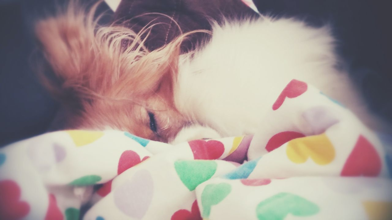 Close-Up Of Papillon Sleeping On Bed