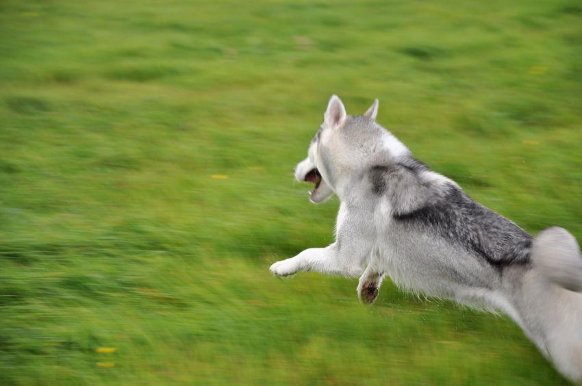 Alaskan Malamute Runing Adrian Cieslak Animal Themes Bokeh Day Dog Domestic Animals Grass Green Color Hunting Husky Jumping Mammal Nature No People One Animal Outdoors Pets Siberian Syberianhuskey