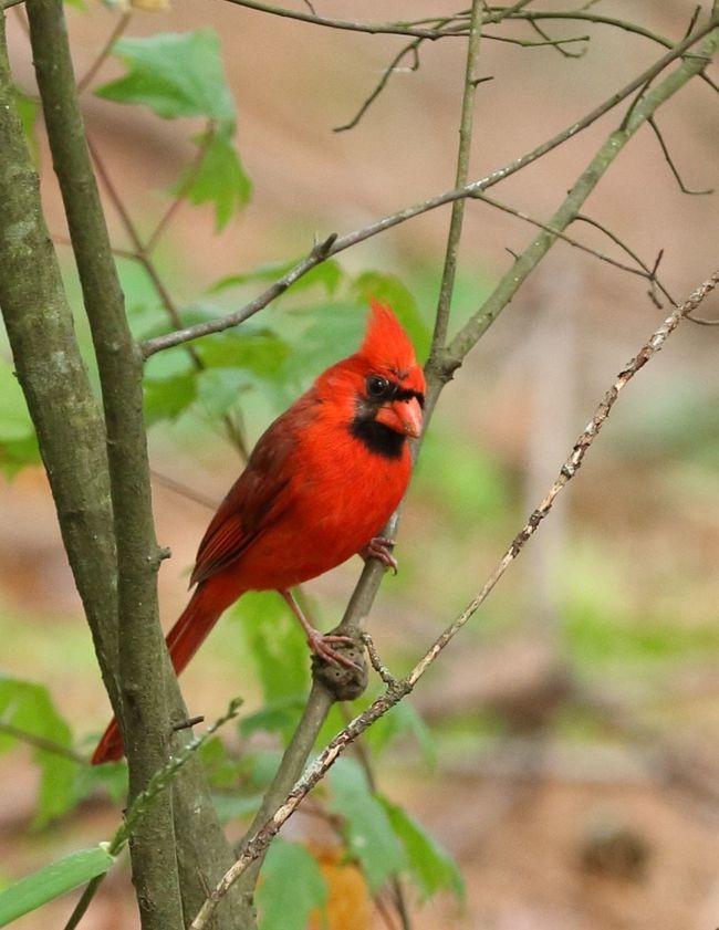 Northern Cardinal Redbird