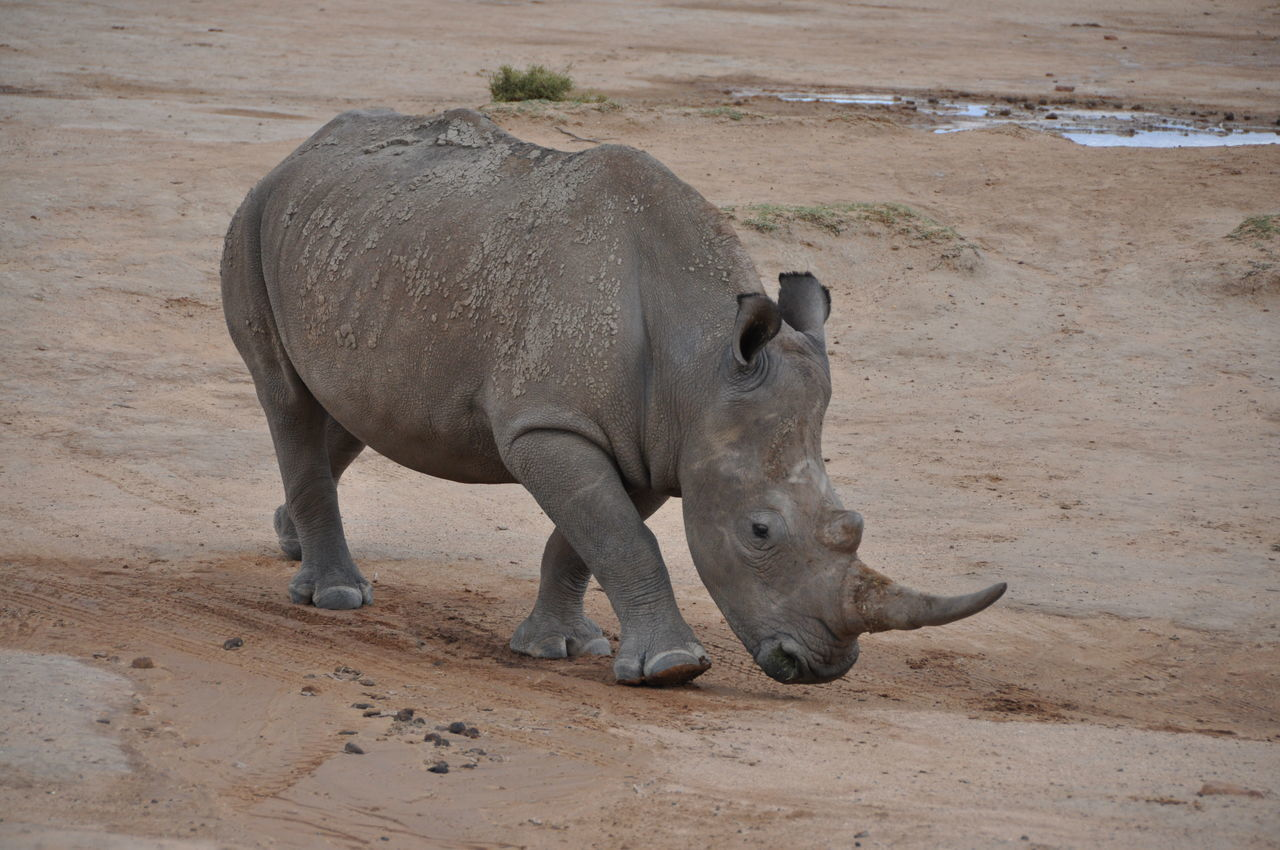 Animal Themes Animal Wildlife Animals In The Wild Day Endangered Animals Mammal Nature No People One Animal Outdoors Rhino