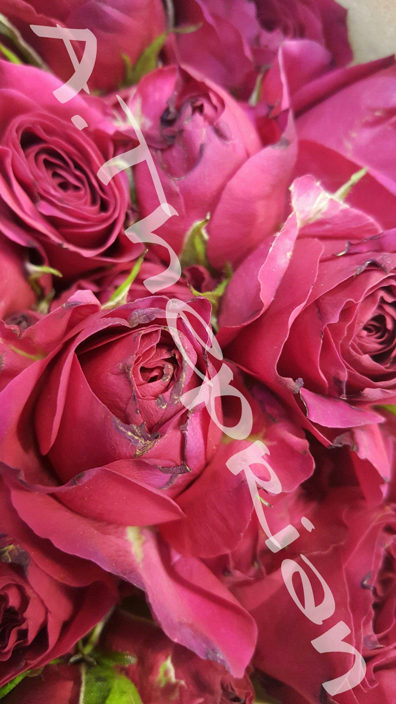 Una hermosa fotografía de rosas, tomada en la Isla de Puerto Rico 🌷 Roses Colors Live Colorful Garden Photography Pink Rose Flowers Naturalize Secondeyeemphoto BrightsLights