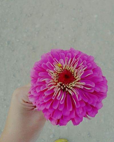 Flower Pink Color Beauty In Nature Close-up Human Hand Freshness Love Gift