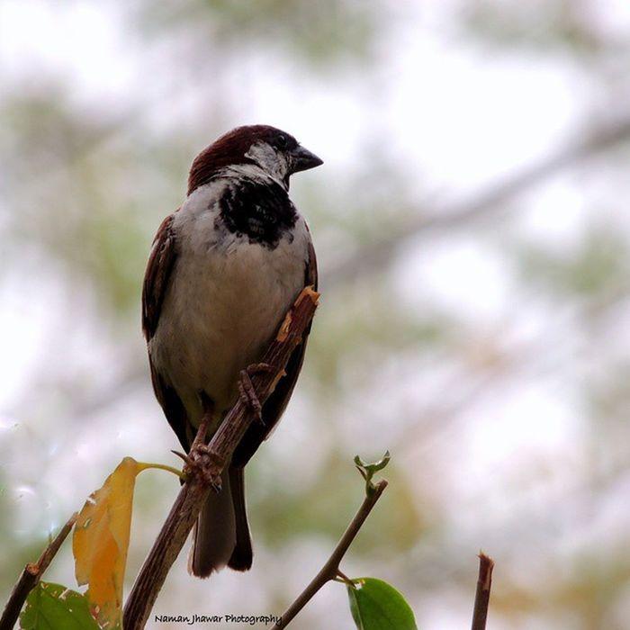 Sparrow Endangered  Delhi 'sbird Savethesparrows Elegant Nikonphotography Nikon P510 Picasa