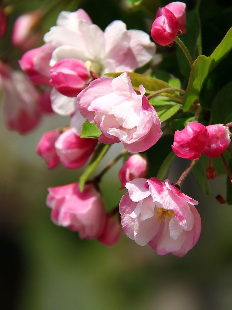 Malus Micromalus Flower Fragility Nature Beauty In Nature Freshness Pink Color Flower Head Blooming Outdoors Springtime Beijing