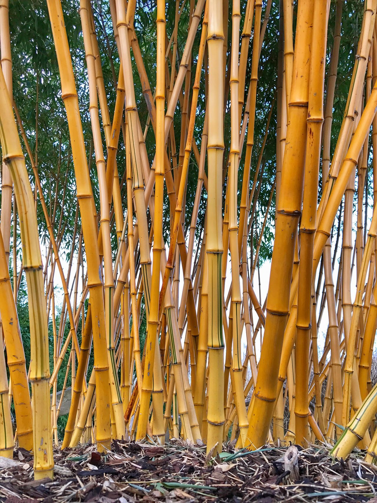 Bamboozled Bamboo - Plant No People Outdoors Day Bamboo Grove EyeEm EyeEm Nature Lover EyeEmBestPics IPhone EyeEm Gallery Eye4photography  IPhoneography Iphonephotography EyeEm Best Shots - Nature Plant Low Angle View Beauty In Nature Cheshire Chesterzoo Nature Tree Growth IPhone Photography