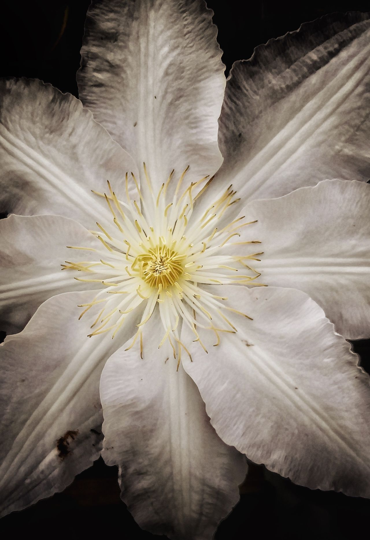 Clematis Clematis Vine Clematis Flower Macro Photography Flower Head Flower Close-up White Color Fragility Beauty In Nature No People Freshness Freshness Nature Purity Outdoors Shop Flower