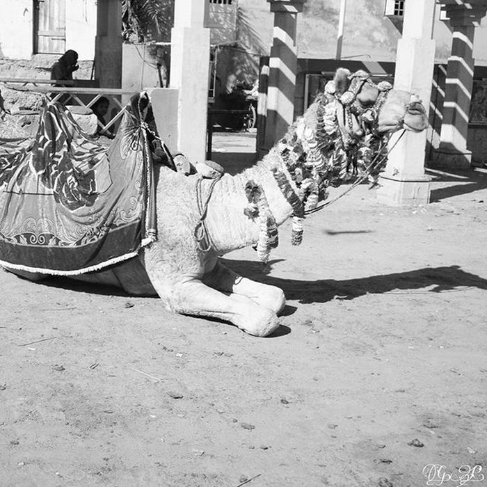 """""""Camels are very peaceful animal they rarely exhibit aggression"""" Foreonedits Camel Indian Blackandwhite Photography Igers Tbl Beauty Instagood Instaeffect Instamood Follow Camera Travel Wild Peace Goodmorning"""