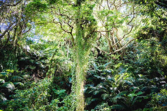 Travel In Japan Outdoor Inspiration Nature Mysticalwanderer Mystical Forest :) Mystical Place Japan Travel Photography Day Adventure Okinawa Natural Beauty Japan Photography Looking Up Green Nature Adventure Club Unrealistic Fantasy World Like A Game 聖剣伝説 沖縄 Sightseeing Green Scenery