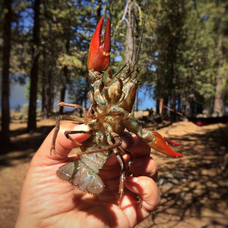 CRAWFISH Crawfish Time Crawdad Crawfish California Modoc County Blue Lake