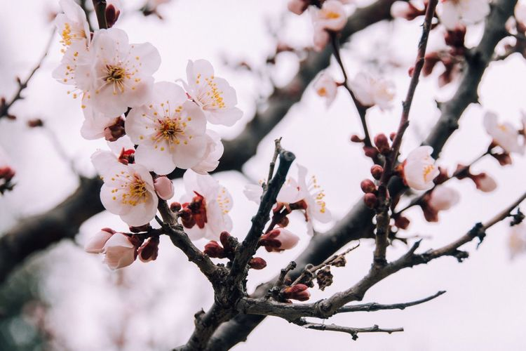Japan Lovers ◀👘🍣⛩🎑🍱🇯🇵 Flower Growth Nature Beauty In Nature Tree Fragility Blossom Twig Springtime Freshness Branch In Bloom Botany Close-up Outdoors Flower Head Beautiful Nature EyeEm Best Shots EyeEm Nature Lover Hello World Nature Branches Yeah Springtime!