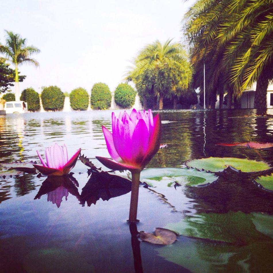 Flower lotus beautiful