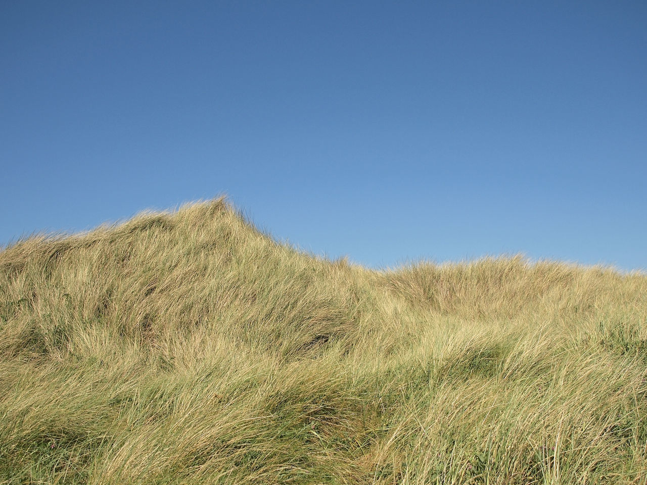 grass, clear sky, nature, growth, field, tranquil scene, day, outdoors, tranquility, beauty in nature, copy space, no people, marram grass, blue, landscape, scenics, plant, timothy grass, summer, agriculture, rural scene, sky, sand dune