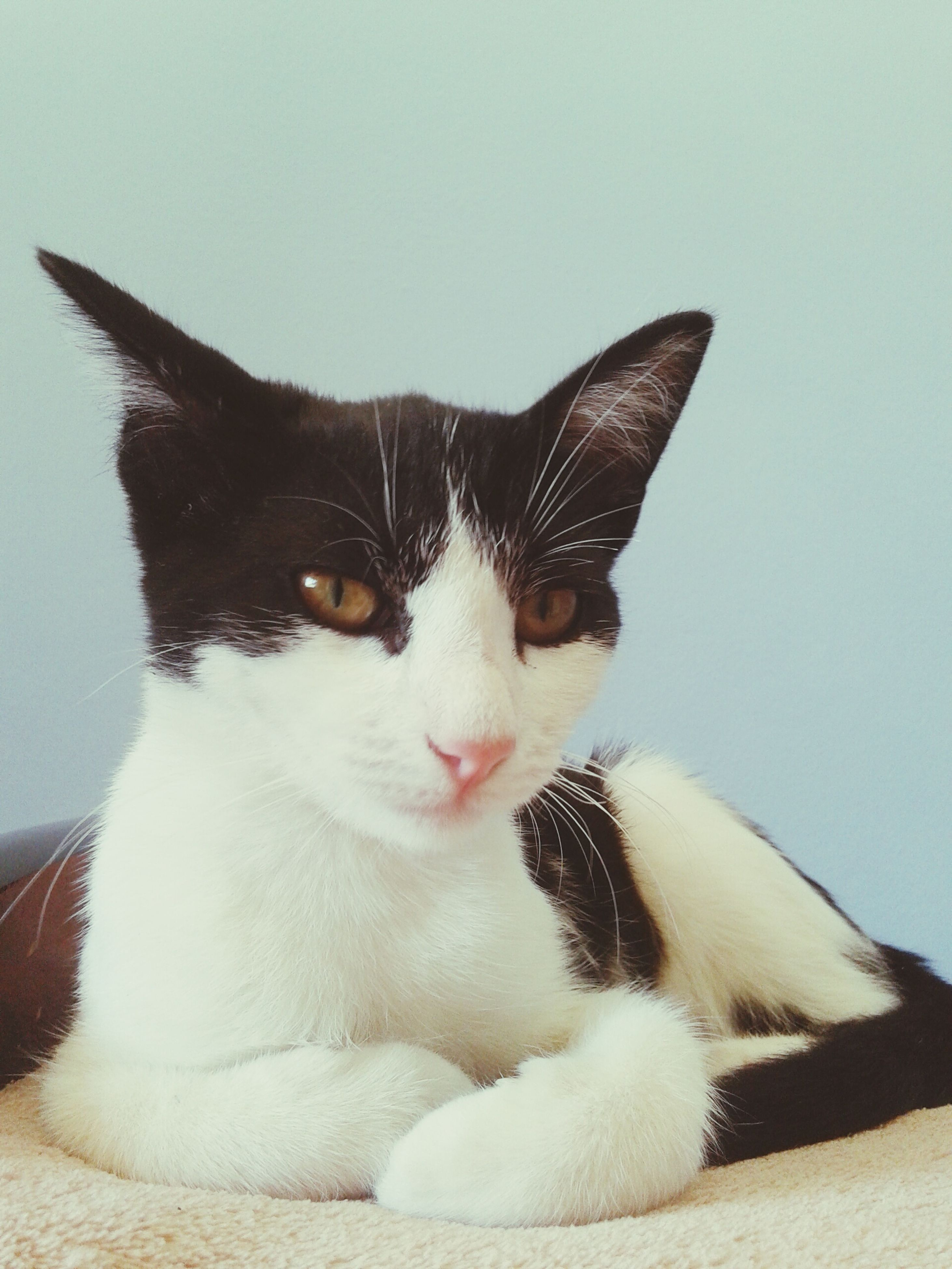 pets, domestic animals, one animal, animal themes, domestic cat, mammal, cat, feline, looking at camera, portrait, whisker, indoors, close-up, animal head, alertness, animal eye, no people, front view, sitting