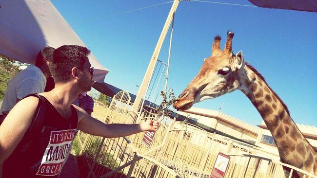 жираф Giraffe Giraffe♥ Giraffe Head Giraffes