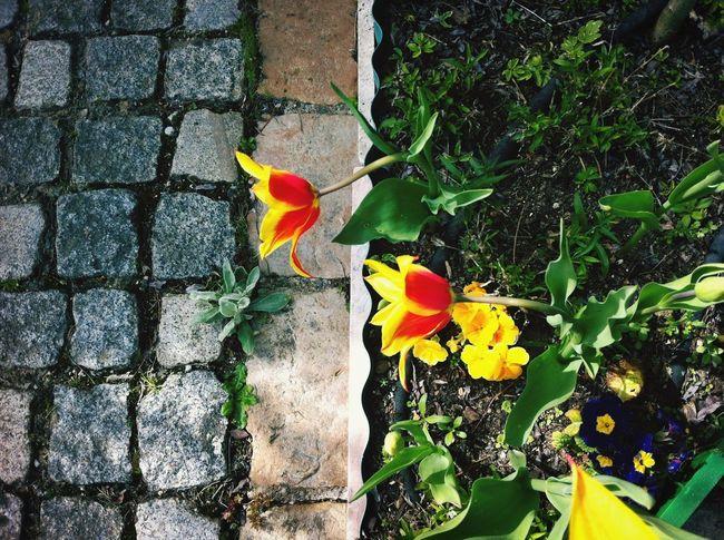 房東的鬱金香 Tulips Flower