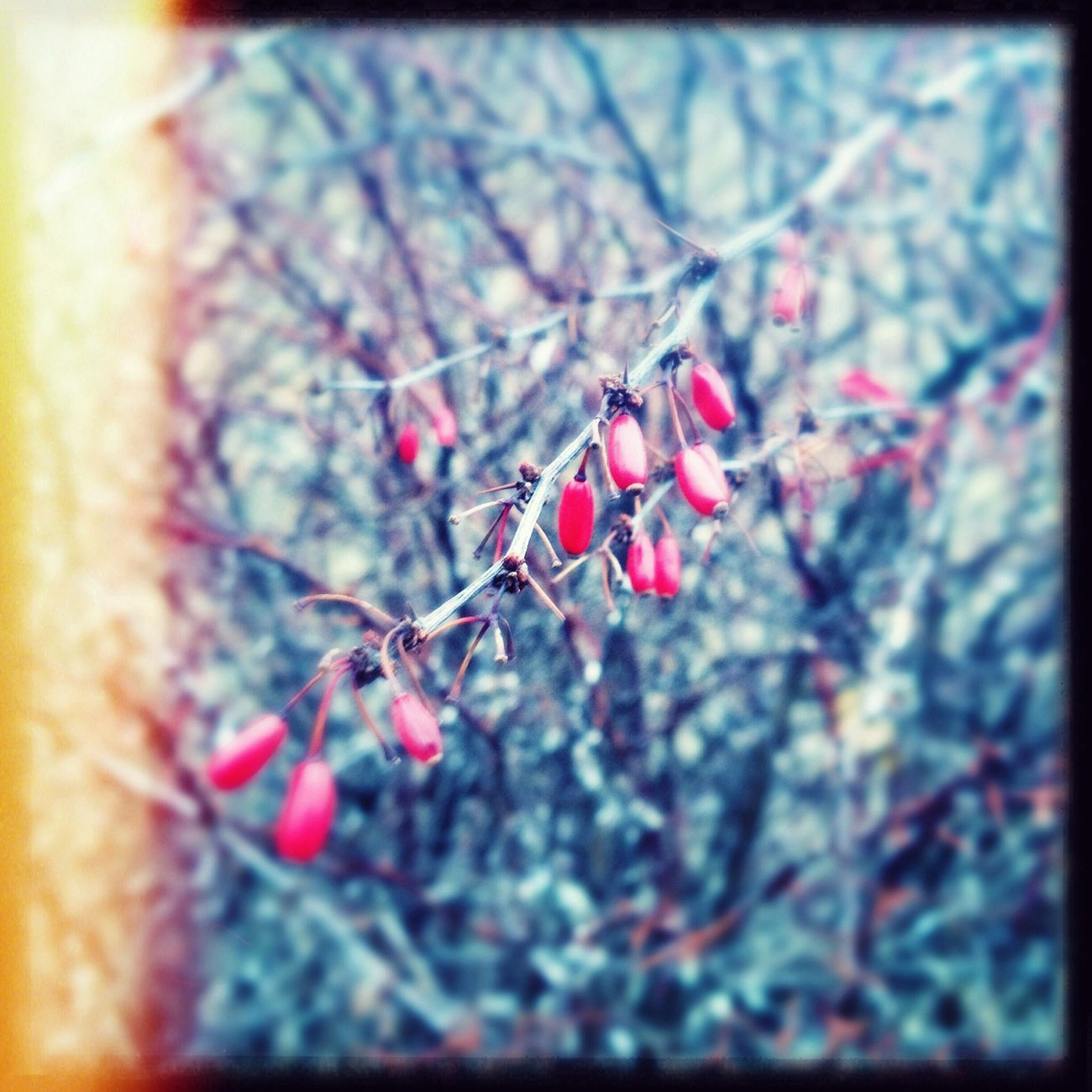 Out and about! Berries Branches Wintertime Light Leak