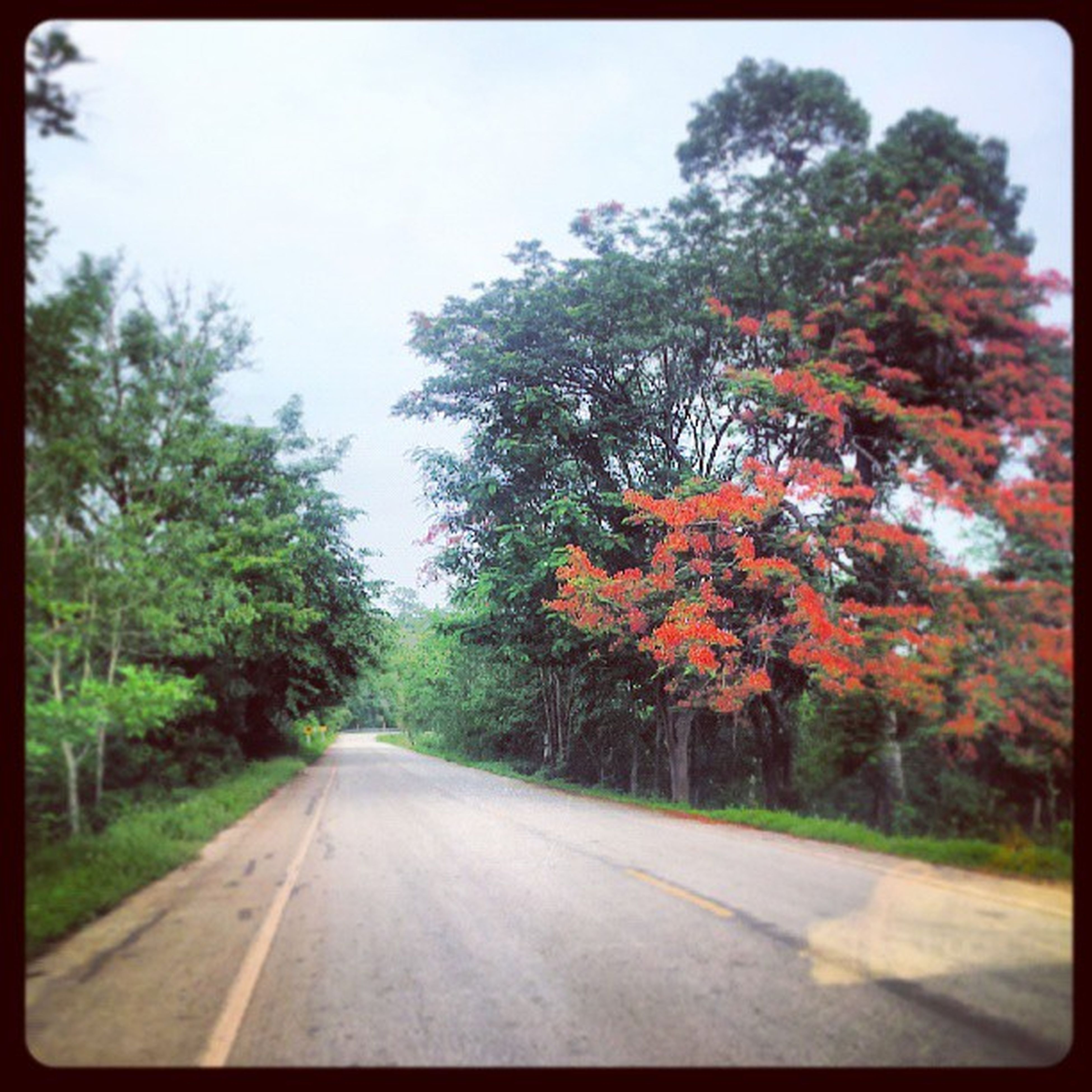 tree, transportation, transfer print, the way forward, road, auto post production filter, diminishing perspective, road marking, growth, vanishing point, country road, nature, sky, day, outdoors, no people, tranquility, beauty in nature, street, autumn
