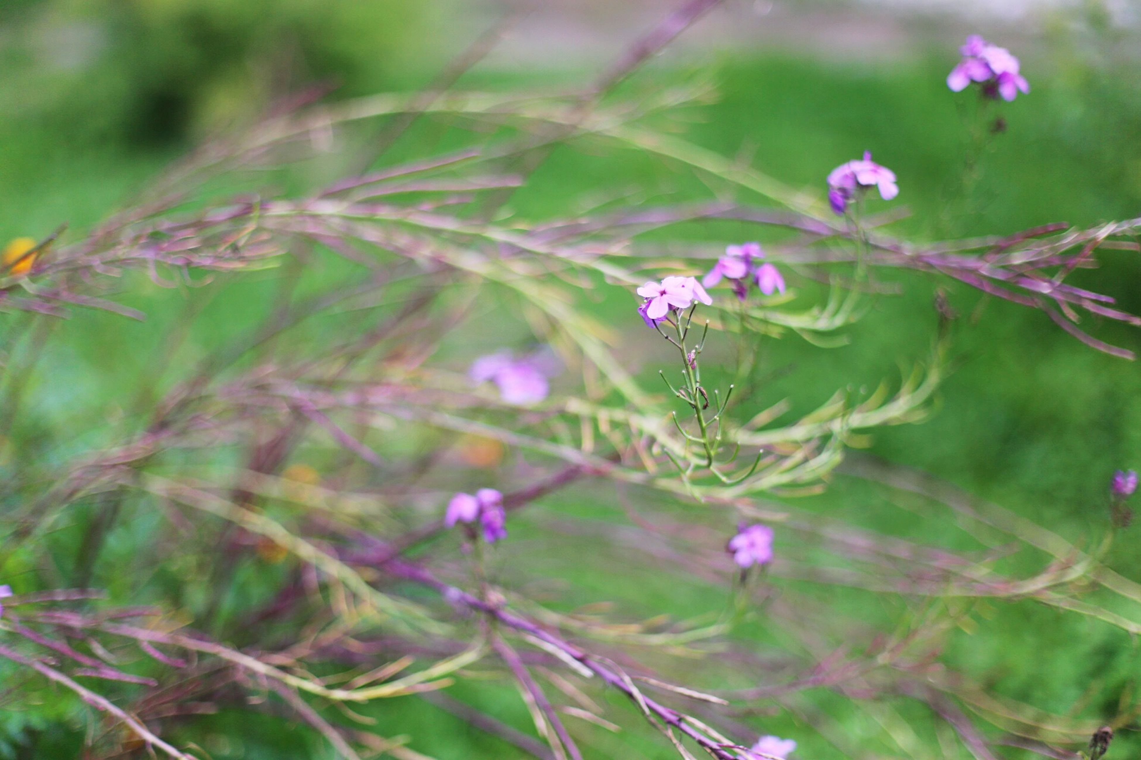 flower, freshness, growth, fragility, beauty in nature, close-up, focus on foreground, plant, nature, petal, purple, stem, blooming, leaf, selective focus, flower head, in bloom, blossom, day, outdoors